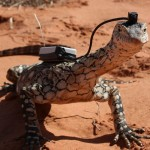 "Perentie with ""Lizardcam"""